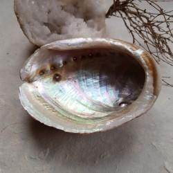 Coquille d'Ormeau (Haliotis...